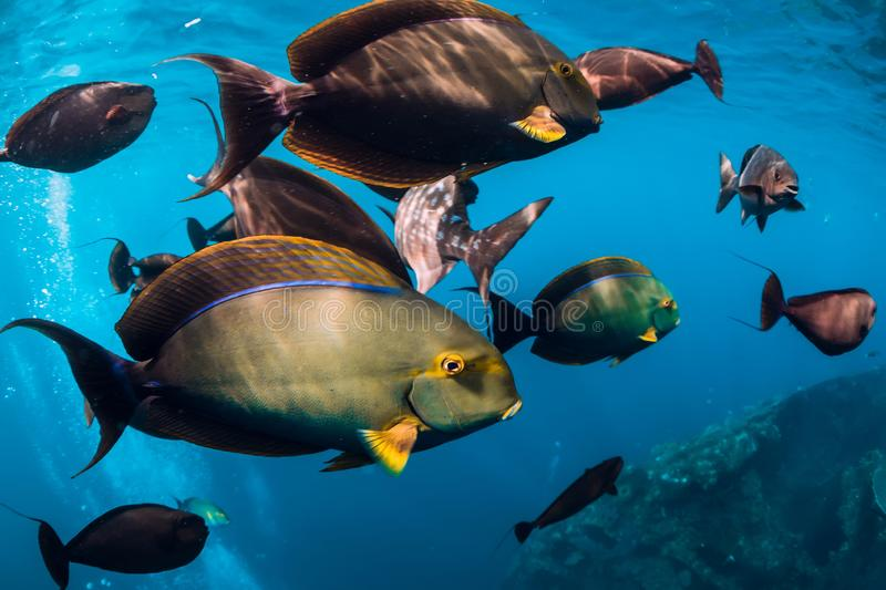 Underwater wild world with school of fish in ocean. Underwater wild world with school of fish in blue ocean stock photography