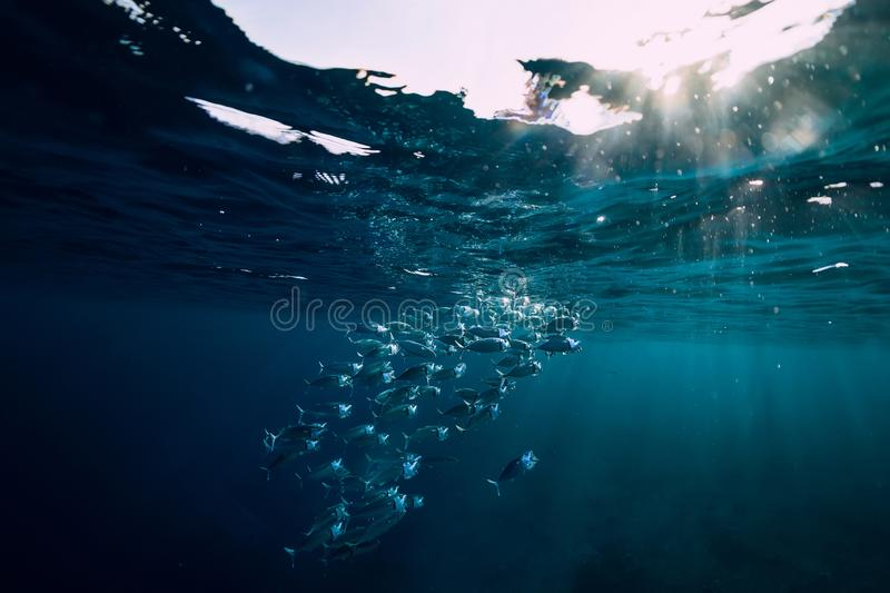 Underwater wild world with tuna school fish and sun light stock photography