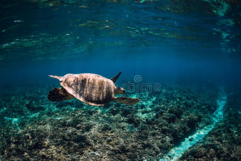 Underwater wildlife with animals. Sea turtle floating over beautiful natural ocean background. Green sea turtle royalty free stock image