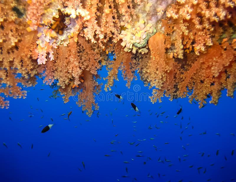 Underwater world in deep water in coral reef and plants flowers flora in blue world marine wildlife, Fish, corals, dolphins. Underwater world in deep water in royalty free stock photo