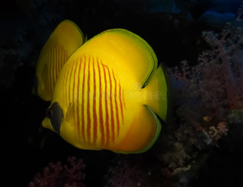 Underwater world in deep water in coral reef and plants flowers flora in blue world marine wildlife, Fish, corals, dolphins. Underwater world in deep water in royalty free stock image