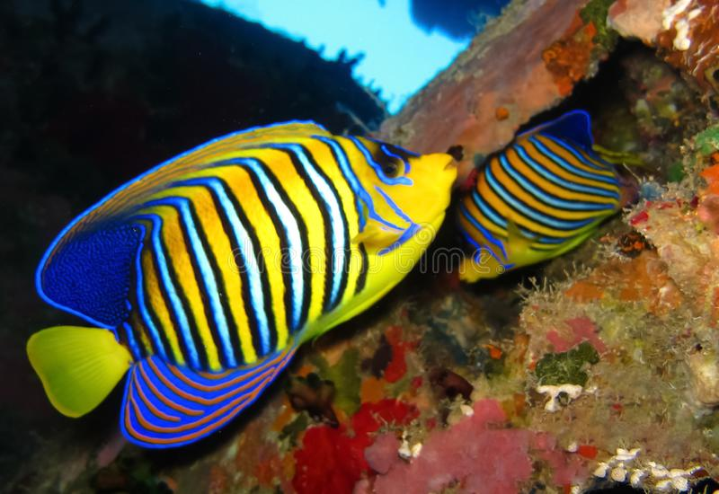 Underwater world in deep water in coral reef and plants flowers flora in blue world marine wildlife, Fish, corals and sea creature. Underwater world in deep stock photography