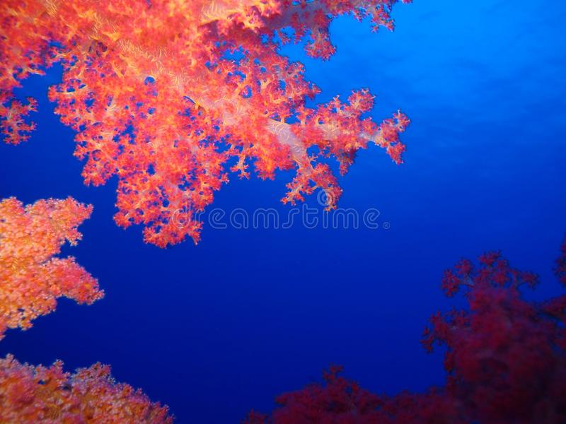 Underwater world in deep water in coral reef and plants flowers flora in blue world marine wildlife, Fish, corals and sea creature. Underwater world in deep royalty free stock photo