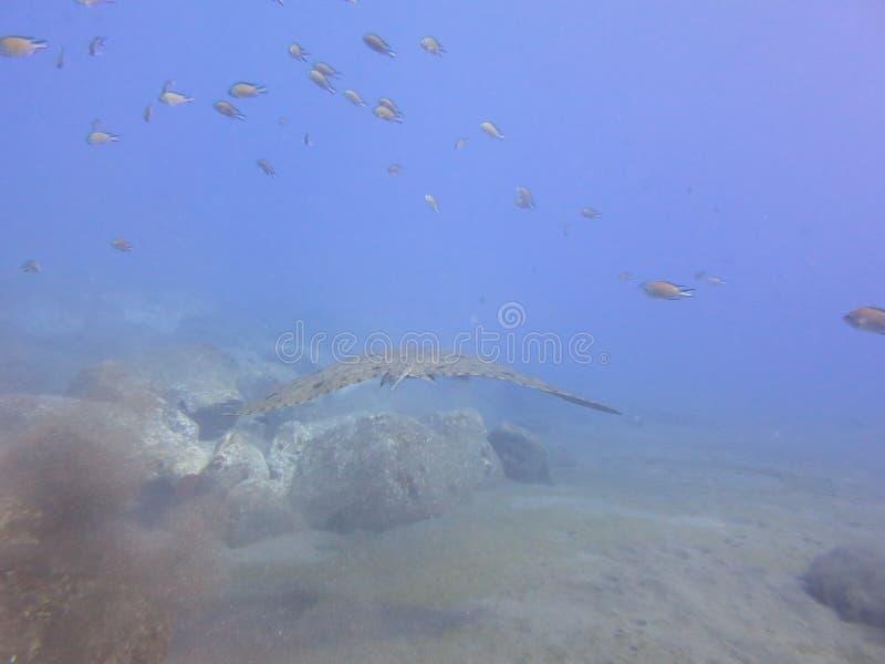 Underwaterlive Ray royalty-vrije stock afbeeldingen