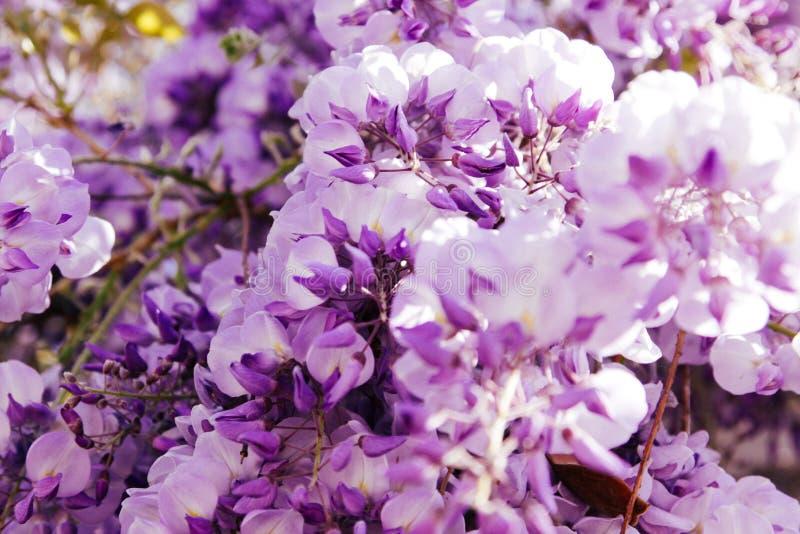 Undeutlicher Hintergrund der k?nstlerischen Naturtapete mit purpurroter Blumenglyzinie oder Glycin im Fr?hjahr lizenzfreie stockfotos