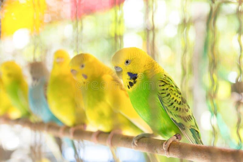 Undulat i fågelbur fotografering för bildbyråer