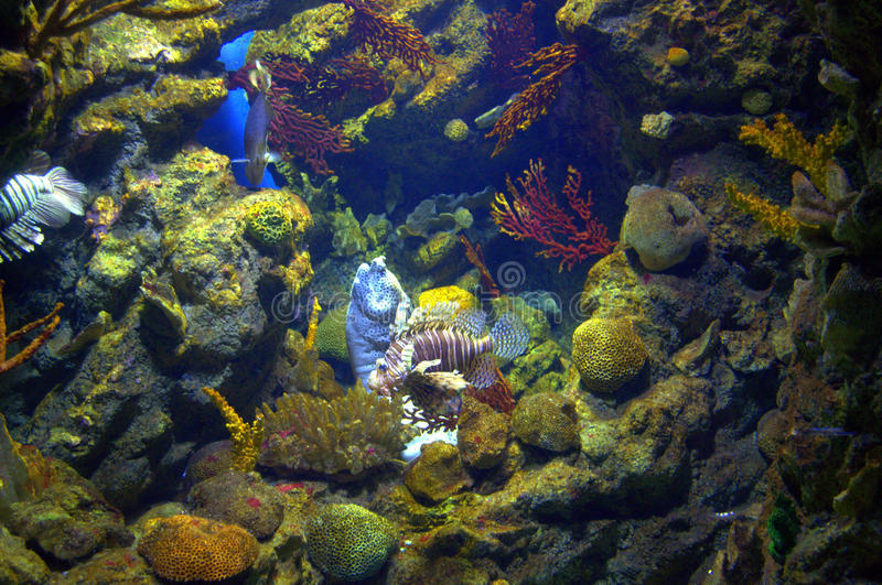 Undulated Moray Eel and lionfish stock images