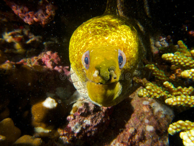 Undulated moray. An undulated moray peers out of it's lair in the reef. Ad Dimaniyat Islands, Oman royalty free stock images