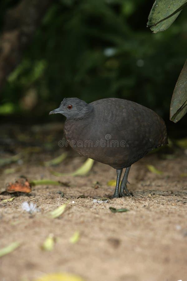Undulated tinamou, Crypturellus undulatus. Single bird on ground, Brazil stock photos