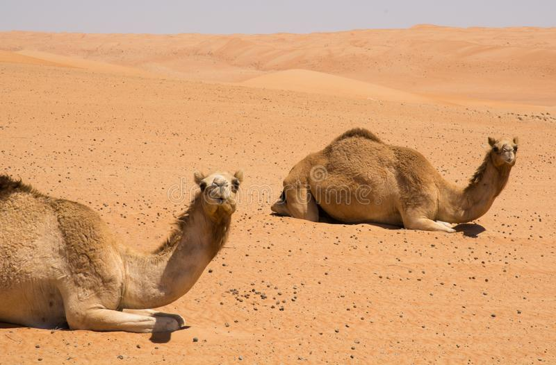 Wahibah Sands with Camels royalty free stock photos