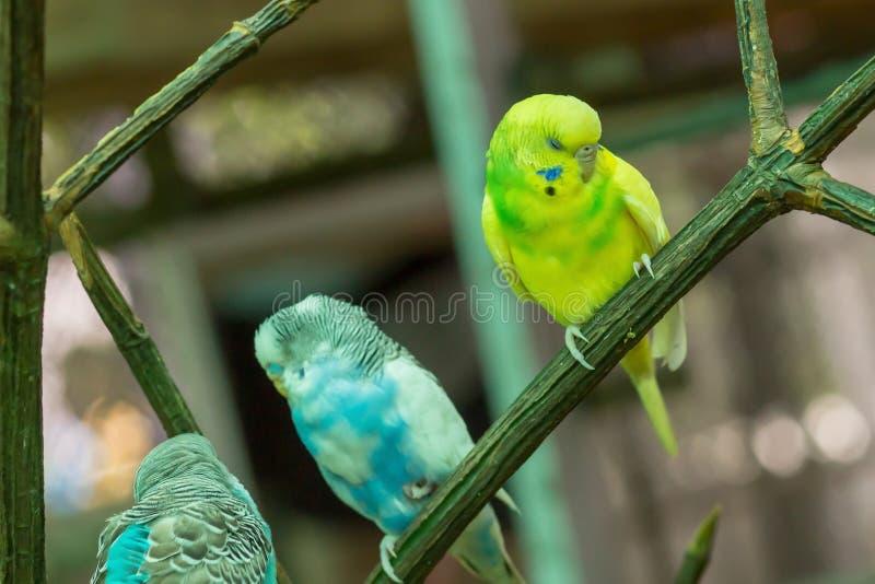 Undulatus amarillo azul del Melopsittacus del periquito colorido cantando tres pájaros que se sientan en un budgie emplumado lind fotos de archivo libres de regalías