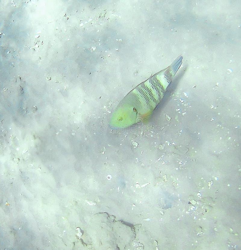 Undulatus die van Cheilinus van de Gubanvissoort op bodemne drijven stock foto