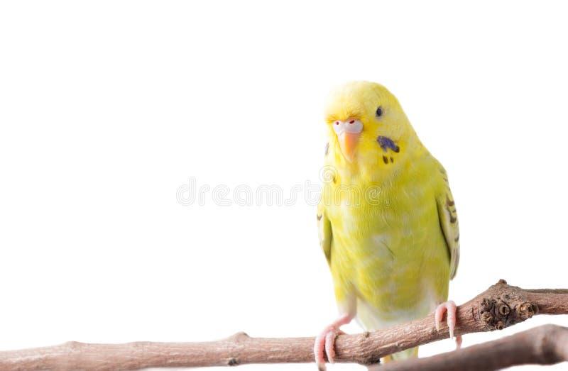 Undulatus jaune de Melopsittacus d'oiseau de perruche photo libre de droits