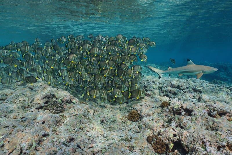 Une école des poissons suivent une eau du fond de requin photo stock