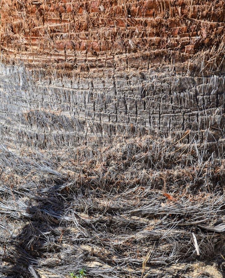 Une écorce d'un palmier quelques couches de vieux à un jeune plan rapproché Texture Fond photos stock