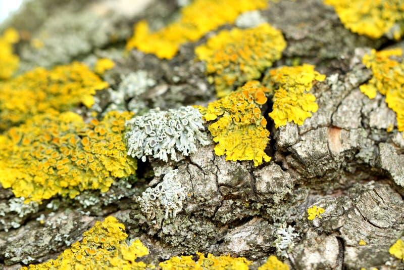 Une écorce de saule pleurant et d'une mousse jaune image libre de droits