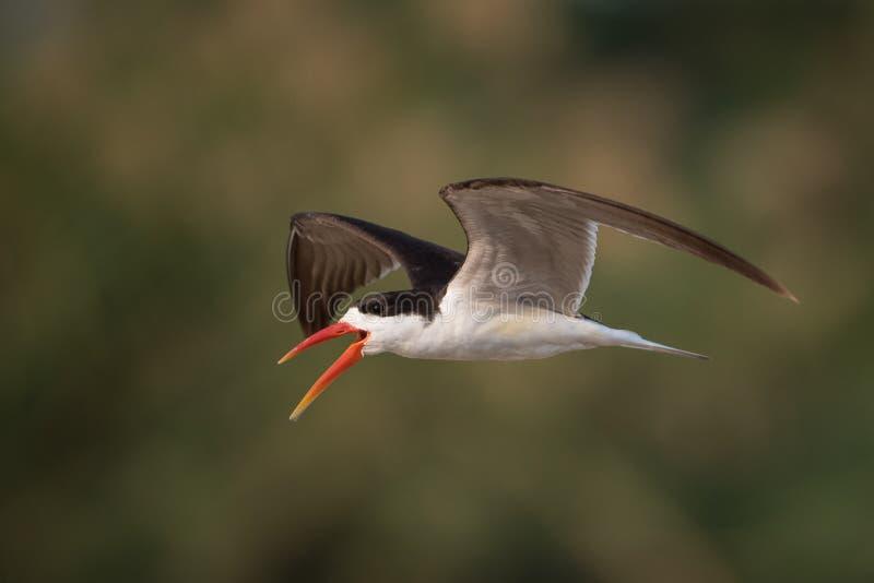 Une écumoire africaine en vol photo libre de droits