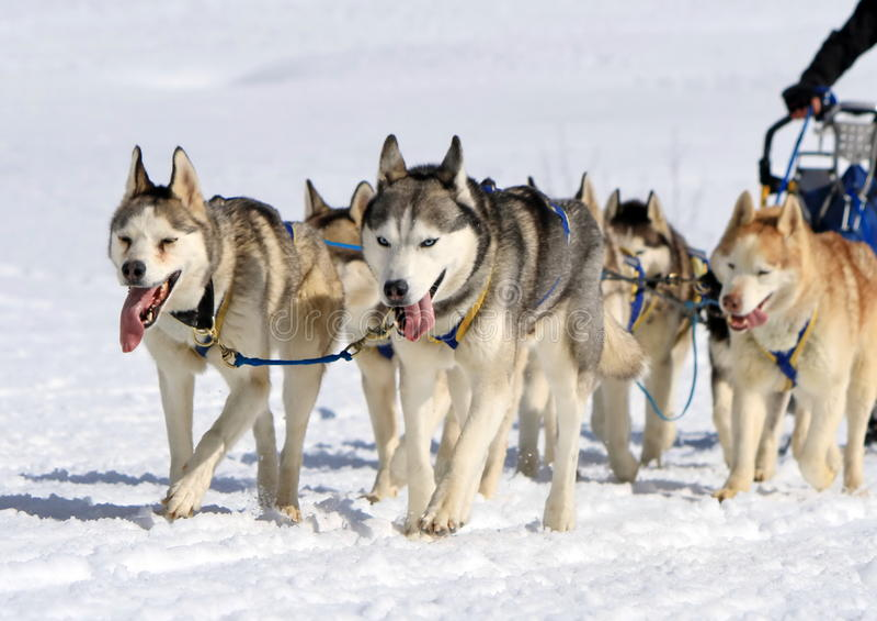 Une équipe enrouée de chien de traîneau au travail photo stock