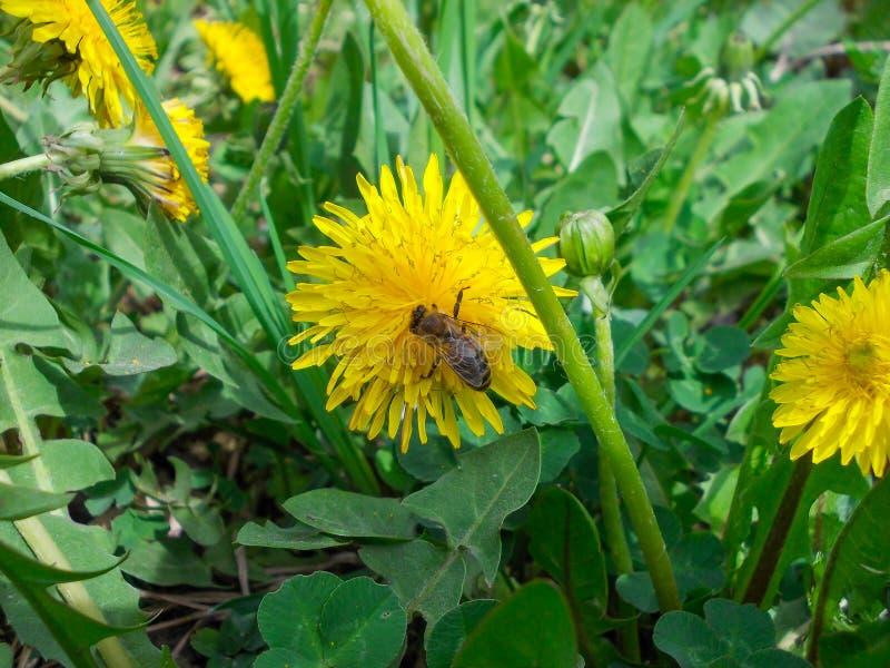 Une abeille à une fleur de pissenlit photo stock