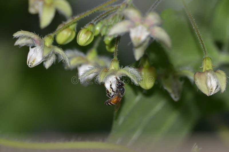 Une abeille de miel suçant le miel d'une fleur balançante image stock