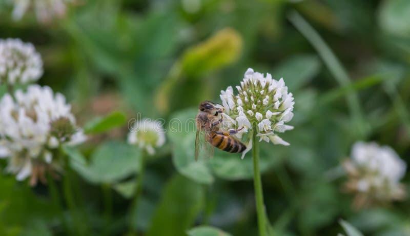 Une abeille de miel sur une fleur commune blanche de trèfle image stock