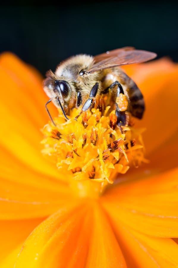 Une abeille de miel sur une fleur de couleur orange photo stock