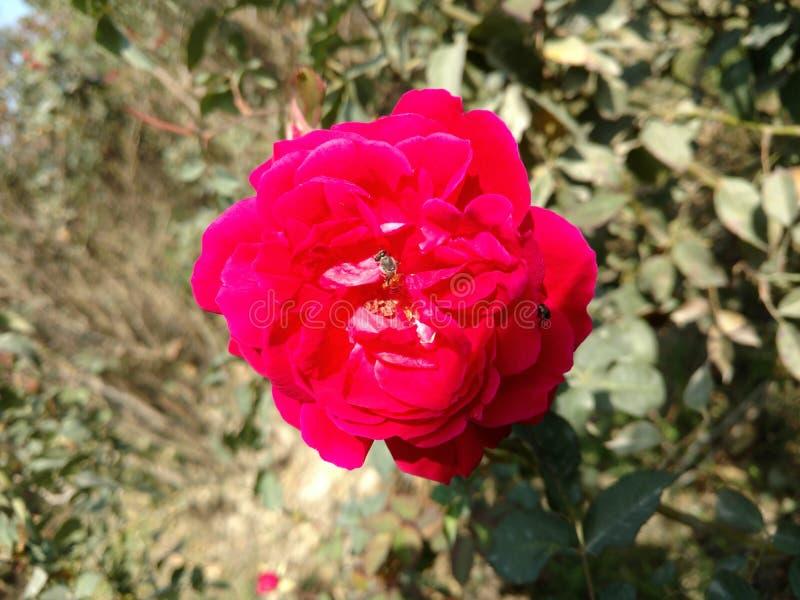 Une abeille de mouche sur la rose rouge image stock