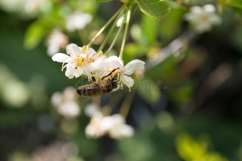 Une abeille de travailleur sur des fleurs de cerisier photographie stock libre de droits