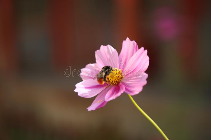 Une abeille et sa fleur photo libre de droits