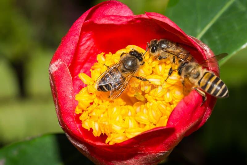 Une abeille observe deux abeilles photo stock