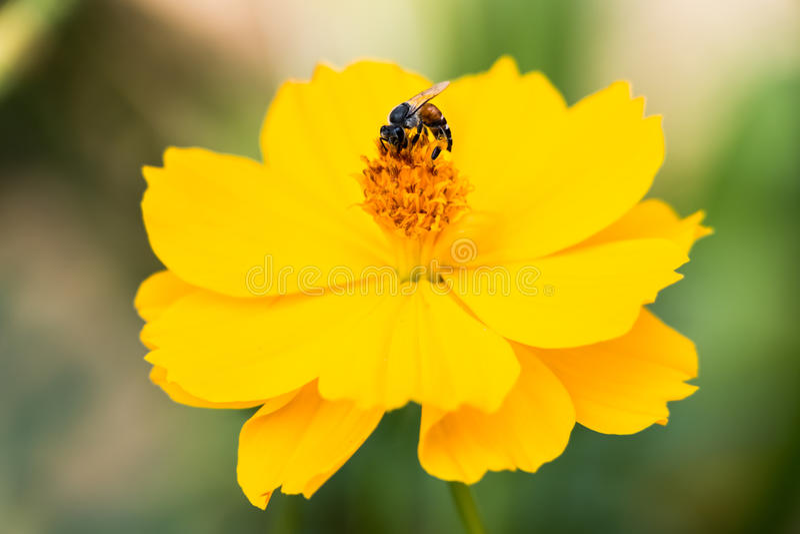 Une abeille rassemblant le nectar sur le cosmos jaune photos libres de droits