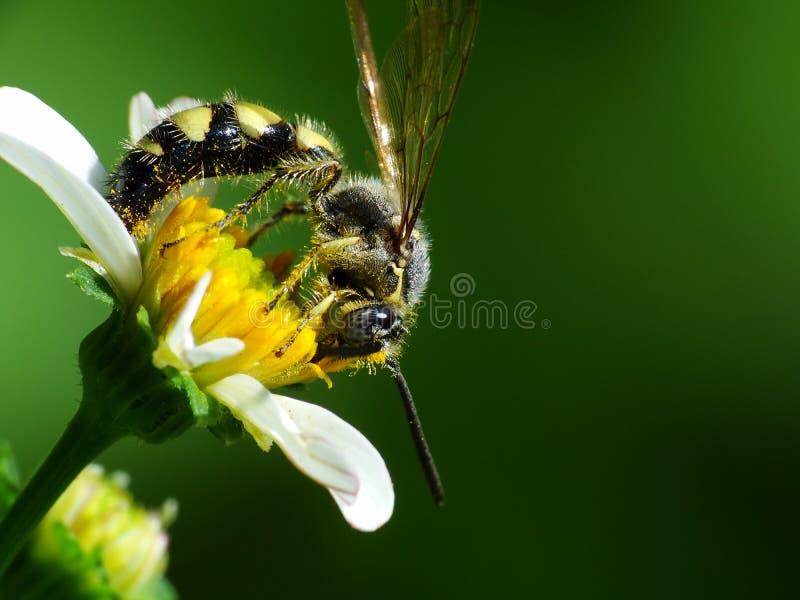 Une abeille recherche le pollen pour faire le journal de miel image libre de droits