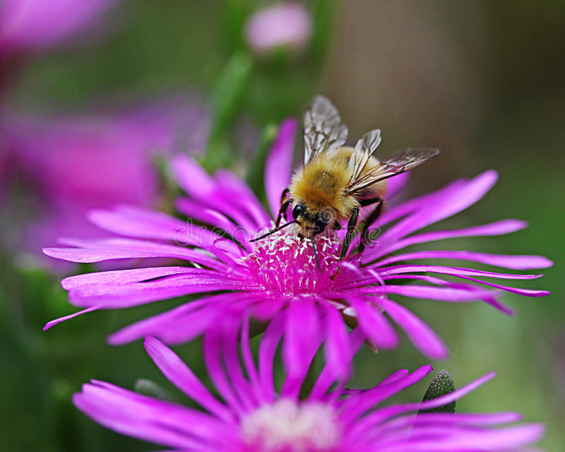 Une abeille sur une fleur photo libre de droits