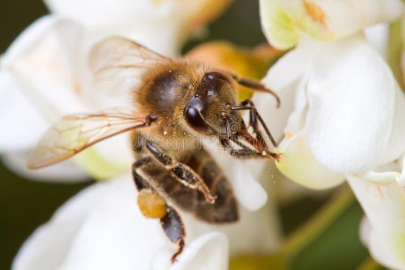 Une abeille sur une fleur d'acacia photo stock
