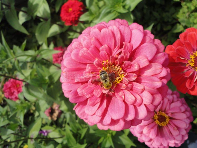 Une abeille sur une fleur rose images libres de droits
