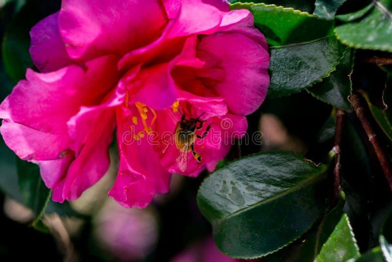 Une abeille visite une rose de l'hiver, ou le camélia, fleur photos libres de droits