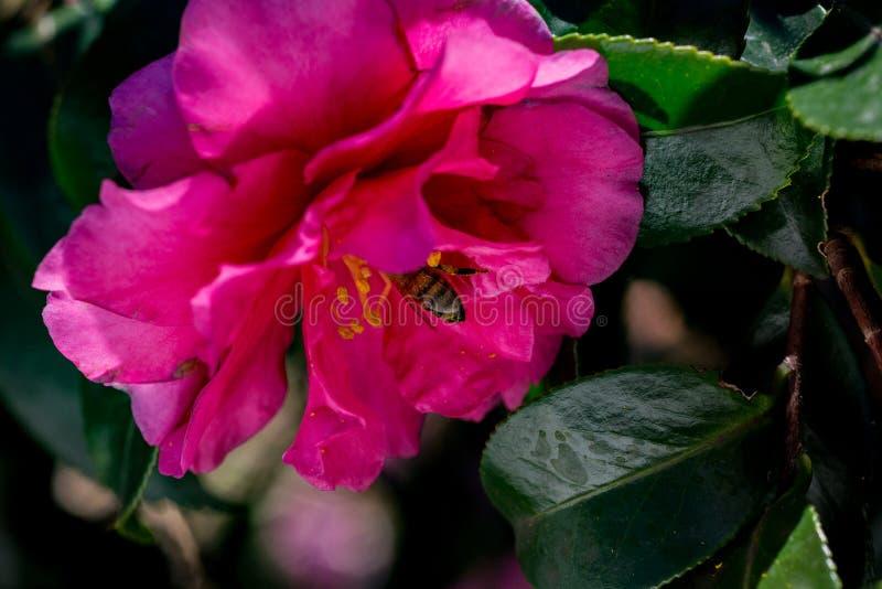 Une abeille visite une rose de l'hiver, ou le camélia, fleur photo libre de droits