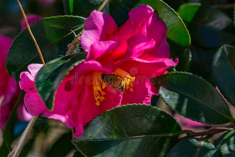 Une abeille visite une rose de l'hiver, ou le camélia, fleur image libre de droits
