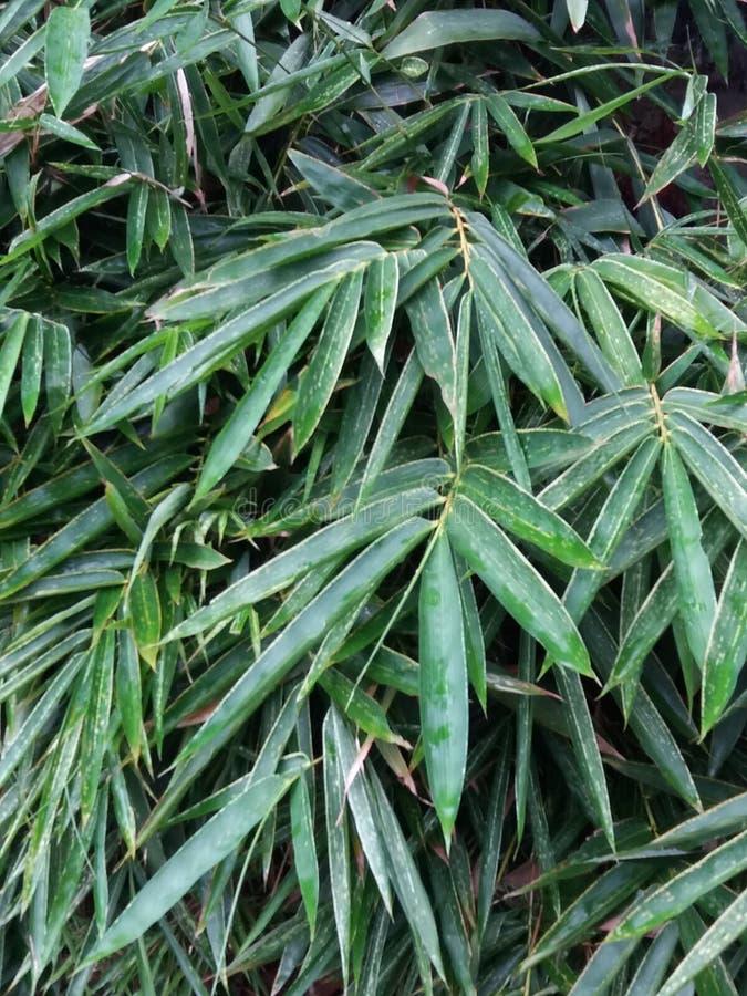 Download Une Abondance De La Feuille En Bambou Image stock - Image du vert, lame: 87708965