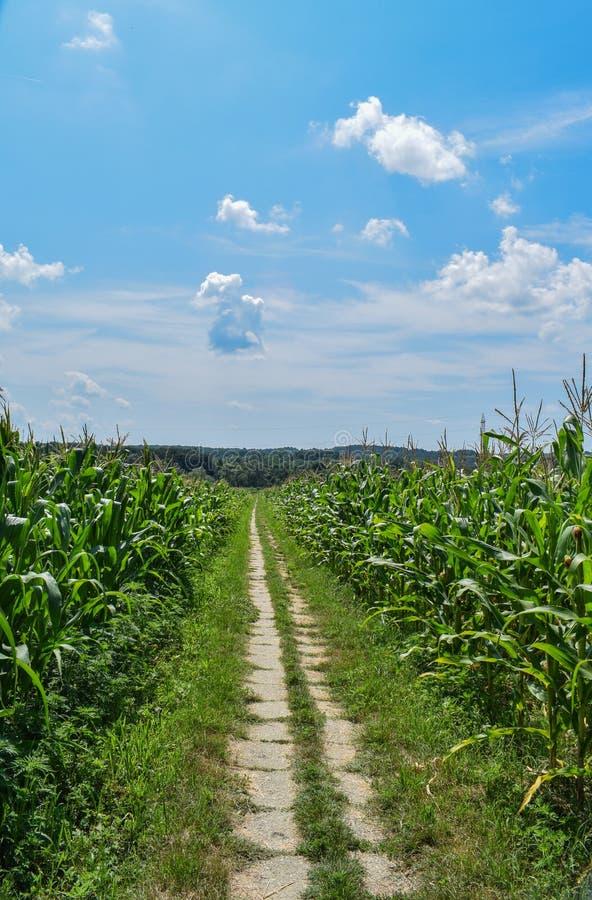 Une allée par la culture de maïs est en haut un beau ciel bleu avec beaucoup de nuages blancs photos libres de droits
