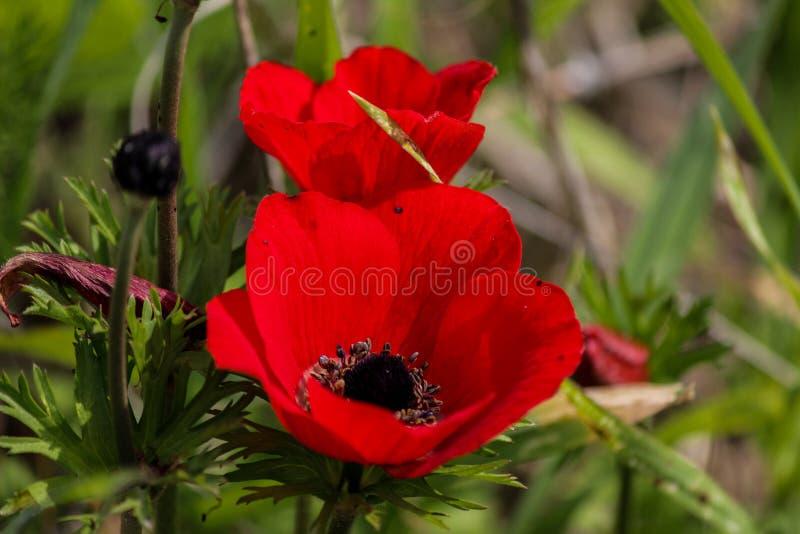 Une anémone de floraison de rouge de fleur de ressort image libre de droits