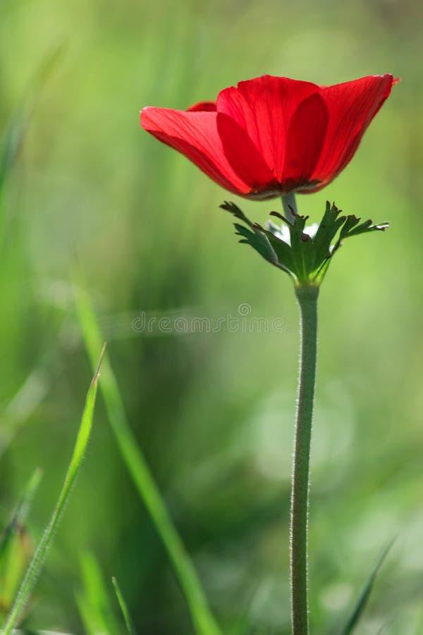Une anémone rouge de floraison de fleur de ressort parmi des pierres images stock