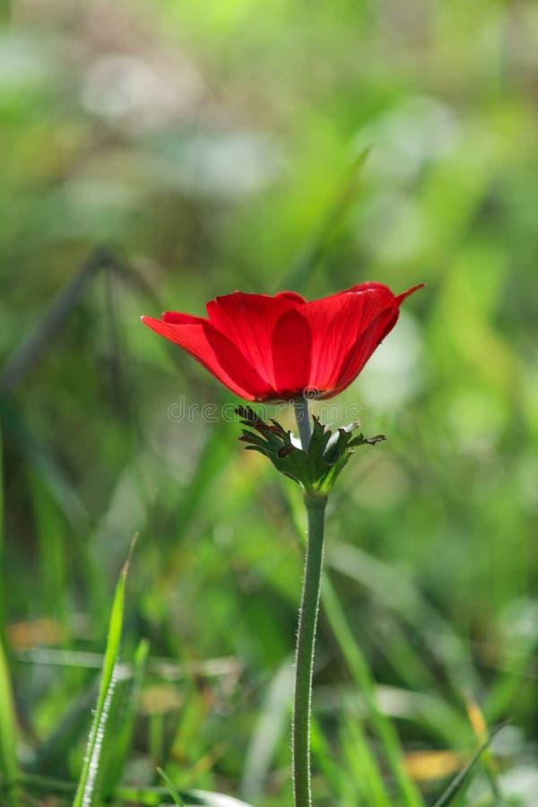 Une anémone rouge de floraison de fleur de ressort parmi des pierres photographie stock