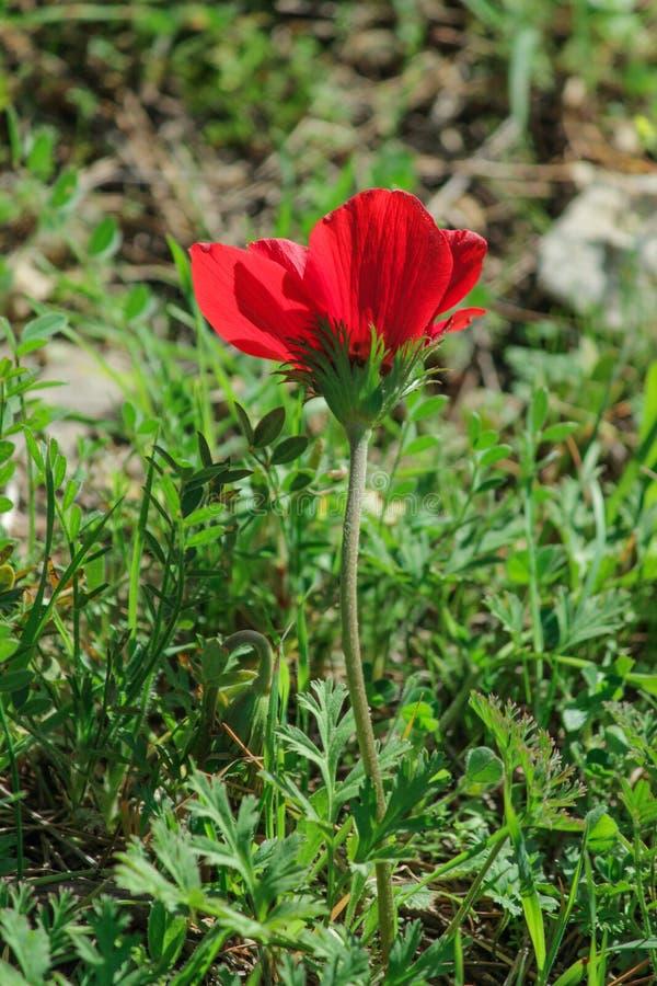 Une anémone rouge de floraison de fleur de ressort parmi des pierres photos libres de droits