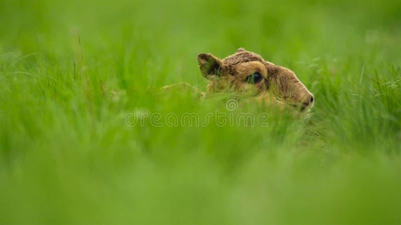 Une antilope de saiga de bébé Jusqu'à ce qu'ils puissent se tenir, leur mère les a laissés cachés dans l'herbe Ils devraient être image libre de droits