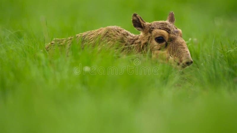 Une antilope de saiga de bébé Jusqu'à ce qu'ils puissent se tenir, leur mère les a laissés cachés dans l'herbe Ils devraient être photos libres de droits