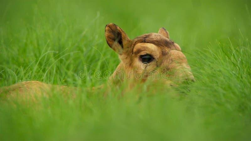 Une antilope de saiga de bébé Jusqu'à ce qu'ils puissent se tenir, leur mère les a laissés cachés dans l'herbe Ils devraient être photographie stock libre de droits