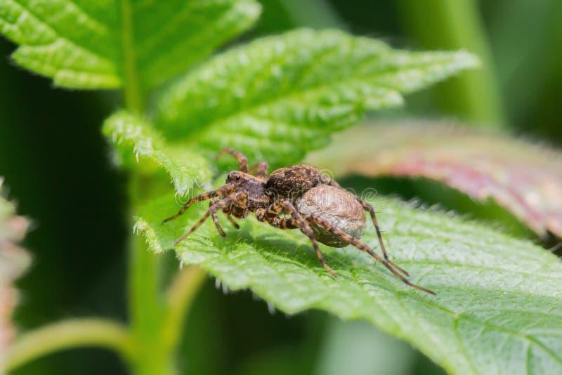Une araignée avec un ventre épais se repose sur la feuille photos stock