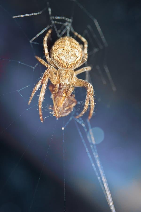 Une araignée dans une chasse, une victime en Web image stock