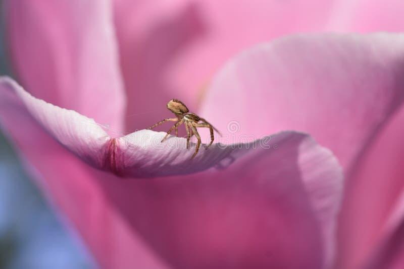 Une araignée de dormeur établit un Web sur une tulipe photo stock